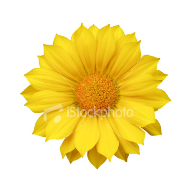 ist2_3207873-yellow-daisy-blossom-on-white1