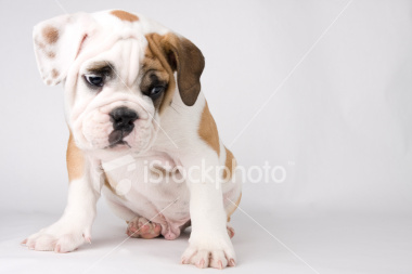 ist2_5863385-puppy